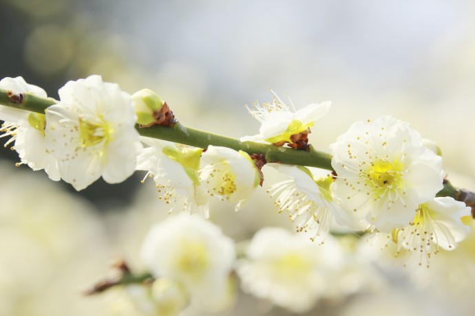 꽃받침과 줄기가 녹색을 띄는 녹악매. - GIB 제공